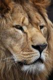 Lion's portrait. Big beautiful lion portrait in a zoo Stock Images