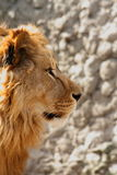 Lion's portrait. Near the wall royalty free stock images