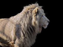 Lion`s profile isolated at black Stock Photography