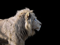 Lion`s profile isolated at black Royalty Free Stock Photography