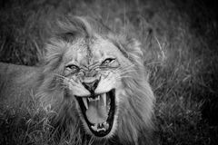 Lion's Roar. A male lion bearing his teeth Stock Image