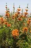 Lion`s Tail Plant Leonotis Leonurus Stock Photos