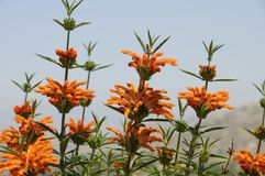 Lion`s Tail Plant Leonotis Leonurus Royalty Free Stock Photos