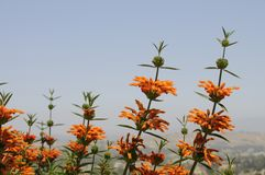 Lion`s Tail Plant Leonotis Leonurus Stock Photo
