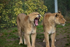 Lion`s. Threatening dangerous predator, hunting animals, king of the animals seen in zoos and safari, green grass lion on the background, hair, brown, open mouth Stock Photography