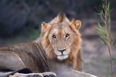 Lion Sabi Sand Safari South Africa royaltyfri fotografi