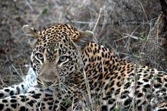 Lion Sabi Sand Safari South Africa arkivbild