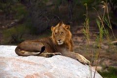 Lion Sabi Sand Safari South Africa arkivfoton