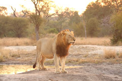 Lion in Sabi Sands Stock Photography