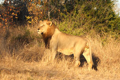 Lion in Sabi Sands Royalty Free Stock Photos