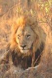 Lion in Sabi Sands Stock Image