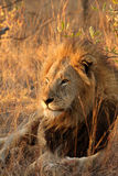 Lion in Sabi Sands Royalty Free Stock Image