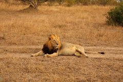 Lion in Sabi Sands Stock Photos