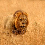 Lion in Sabi Sands. Reserve, South Africa Stock Images