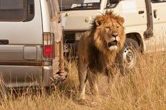 Lion on safari Stock Photos