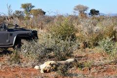 Lion Safari Lizenzfreie Stockfotos