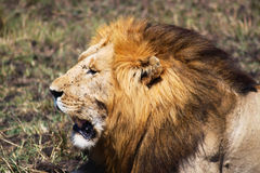 Lion - Safari Kenya. A majestic lion with a great mane, in Kenya Royalty Free Stock Image