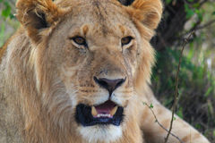 Lion - Safari Kenya. A majestic lion with a little mane, in Kenya Royalty Free Stock Photo