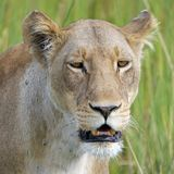 Lion, Safari, Lioness, Africa Royalty Free Stock Image