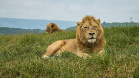 Lion on safari royalty free stock image