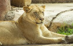 Lion in Safari park royalty free stock photography