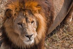 The lion Safari Park. Stock Photography