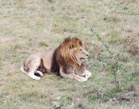 Lion, Safari Park Taigan (lions Park), Crimea. Royalty Free Stock Photos