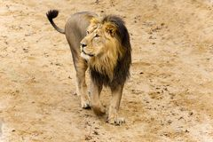 Lion in sand Royalty Free Stock Photography
