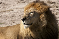 Lion satisfait de mâle adulte lézardant au soleil Images libres de droits