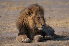 Lion in savanna stock photos