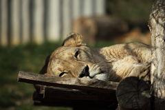 A Lion Stock Photography
