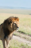 Lion in the savanna of Africa Stock Photography