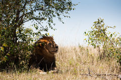 Lion in the savanna of Africa Stock Photo