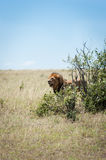 Lion in the savanna of Africa Stock Images