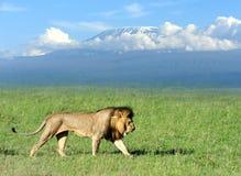 Lion. On savanna landscape background and Mount Kilimanjaro Stock Photo
