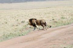 A lion in Savanna, Masai Mara Stock Photo