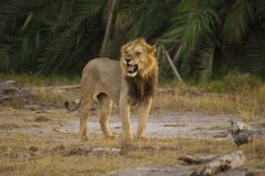 Lion in the Savannah Stock Photos