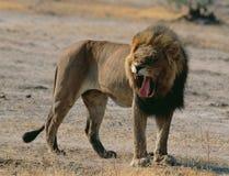 Lion in savannah Stock Photos