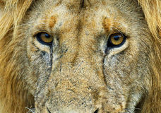 Lion in the savannah Stock Image