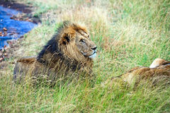 Lion in the savannah Royalty Free Stock Photos