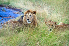 Lion in the savannah Royalty Free Stock Image