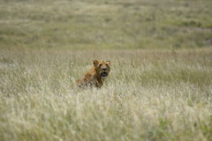 Lion in the Savannah Royalty Free Stock Photo