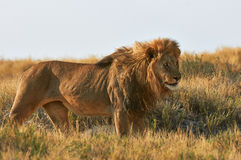 A lion  in the savannah. A male lion in Etosha National Park in Namibia Royalty Free Stock Images