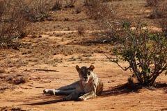 Lion in the savannah of Tsavo East Stock Photo