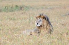 Lion on Savanne Royalty Free Stock Photos