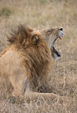 Lion - Savuti in Botswana. A lion (Panthera leo) in the Savuti region of Botswana Royalty Free Stock Photo