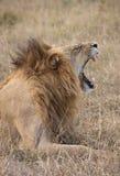 Lion - Savuti in Botswana Royalty Free Stock Photo