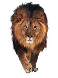 Lion saying hello isolated at white. The Lion saying hello isolated at white royalty free stock image