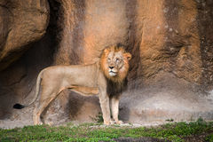 Lion with Scars Stock Images