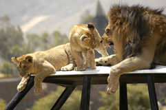 Lion Scolding Cubs. A father lion scolding his cubs to keep his pride in order Royalty Free Stock Image